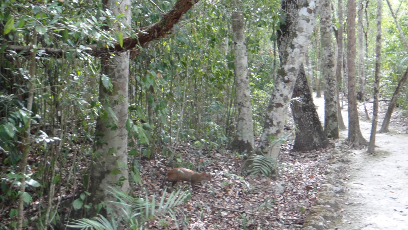 An Agouti on the trail