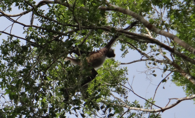 Spider Monkeys are the first thing we saw at the site